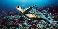 Черепаха Карета-Карета наострове Закинтос